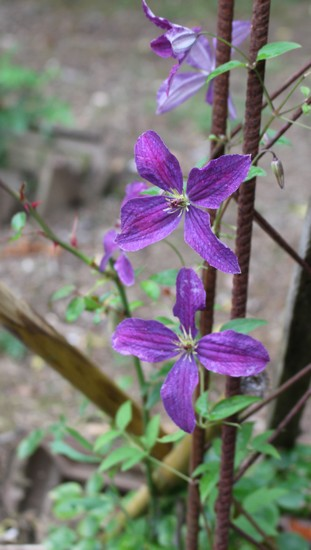 Clematis -2020- - Page 3 03072018