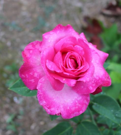 Rosa 'Caprice de Meilland' 03072025