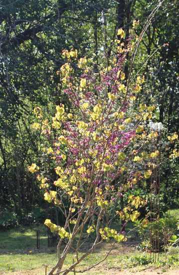 arbre de Judée........... Cercis siliquastrum - Page 3 04042014