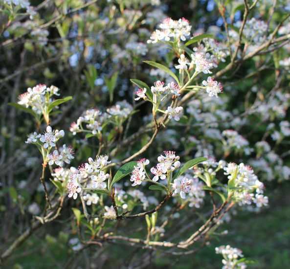 Aronia arbutifolia 'Brilliant' 04042024