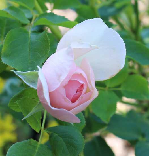 Rosa 'Héritage' !!! - Page 5 04072010