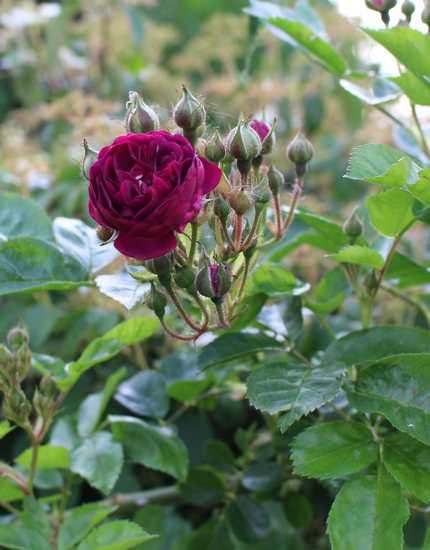 Rosa 'Blue Magenta'  - Page 5 05052026
