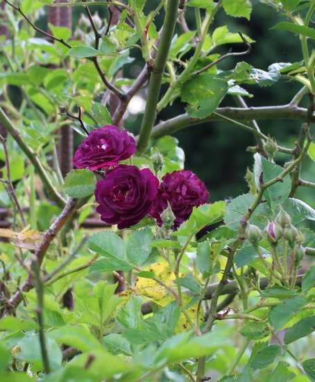 Rosa 'Blue Magenta'  - Page 5 05052027