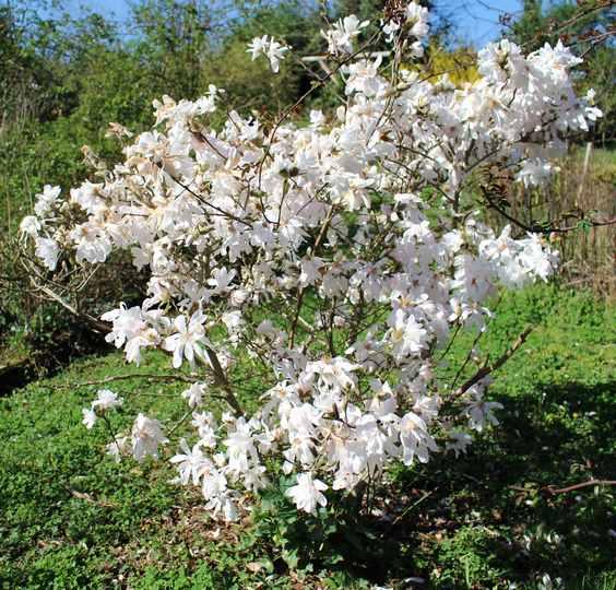 Magnolia stellata !!! 07032011