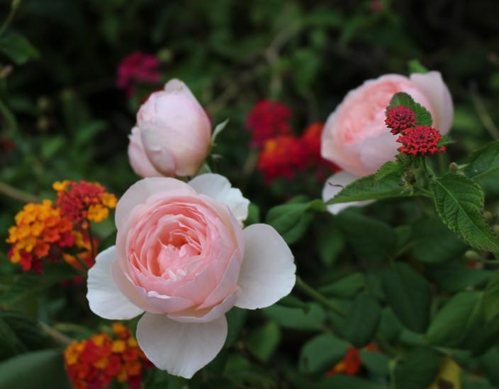 Rosa 'Héritage' !!! - Page 6 07092012