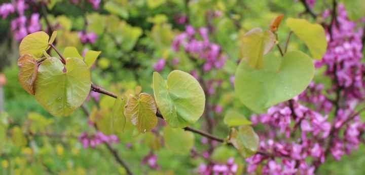 arbre de Judée........... Cercis siliquastrum - Page 2 08042012