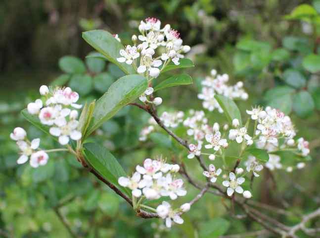 Aronia arbutifolia 'Brilliant' 08042014