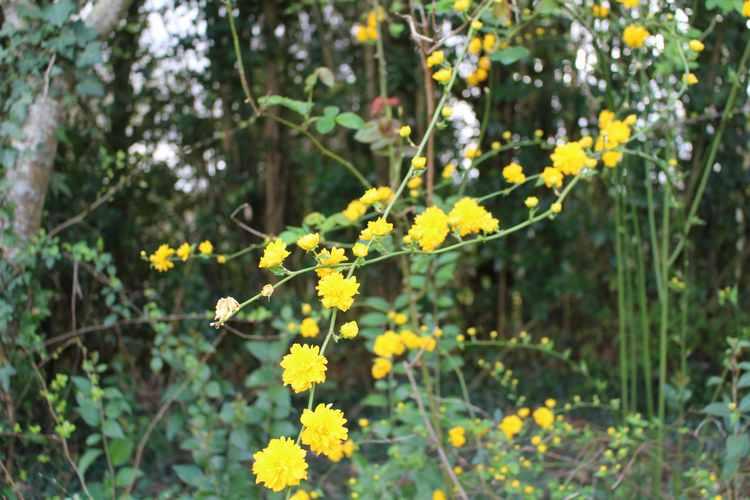 Kerria japonica !!! 09032014