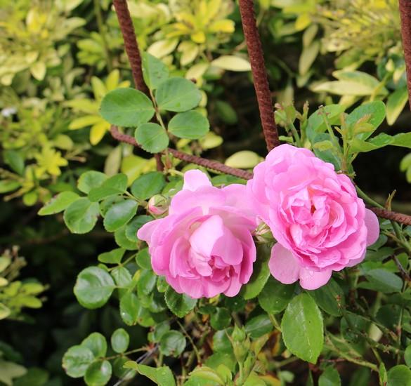 Rosa Jasmina  - Page 3 09052017