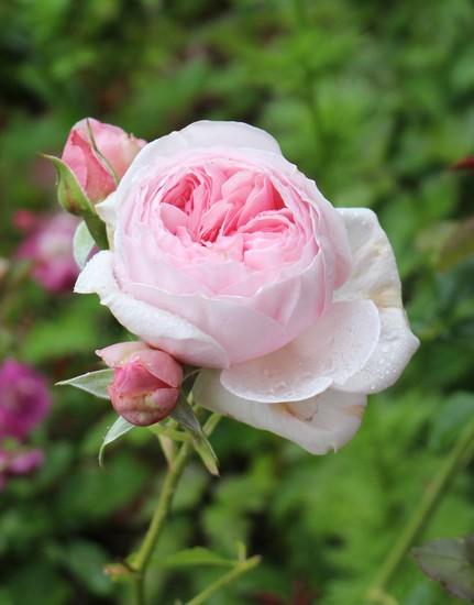 Rosa 'Héritage' !!! - Page 5 10052016