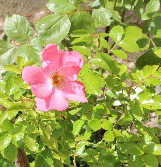 Rosa 'Pink Blanket' 10052040