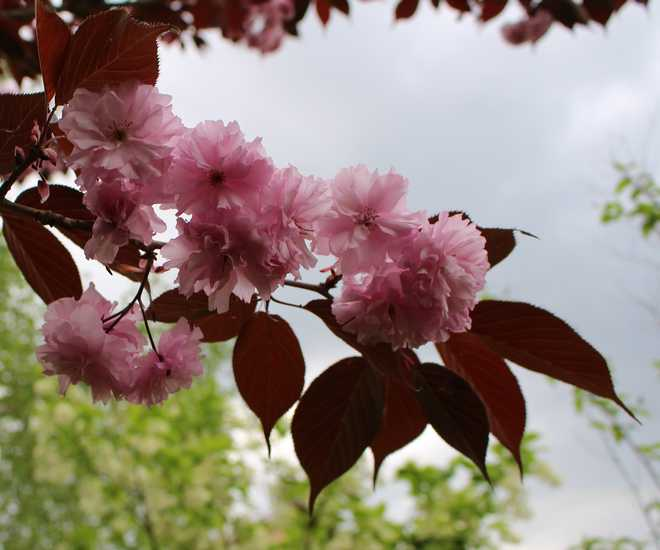 Prunus serrulata 'Kanzan' !!! 11042013