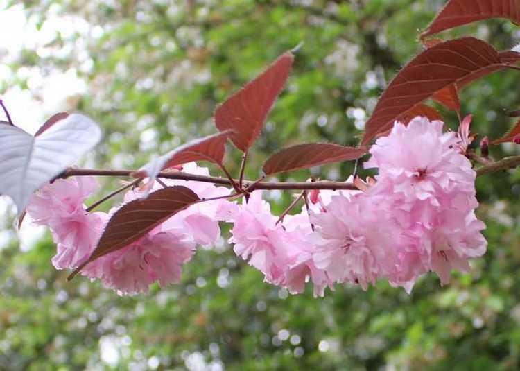 Prunus serrulata 'Kanzan' !!! 11042016