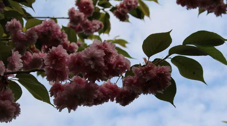 Prunus serrulata 'Royal Burgundy' 11042019