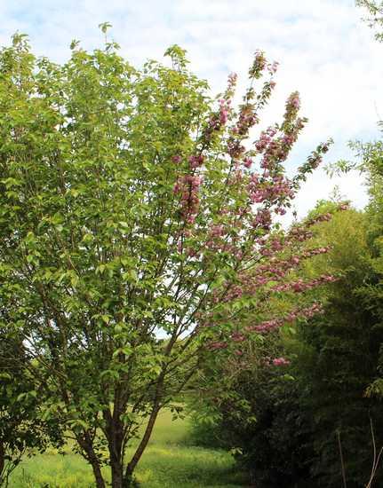 Prunus serrulata 'Royal Burgundy' 11042020