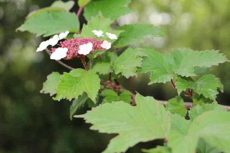 Viburnum sargentii 'Onondaga - Page 2 11042026