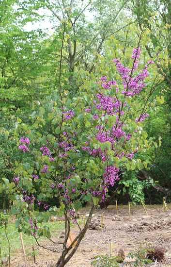 arbre de Judée........... Cercis siliquastrum - Page 3 11042027
