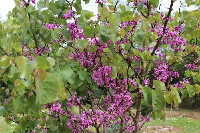 arbre de Judée........... Cercis siliquastrum - Page 3 11042028