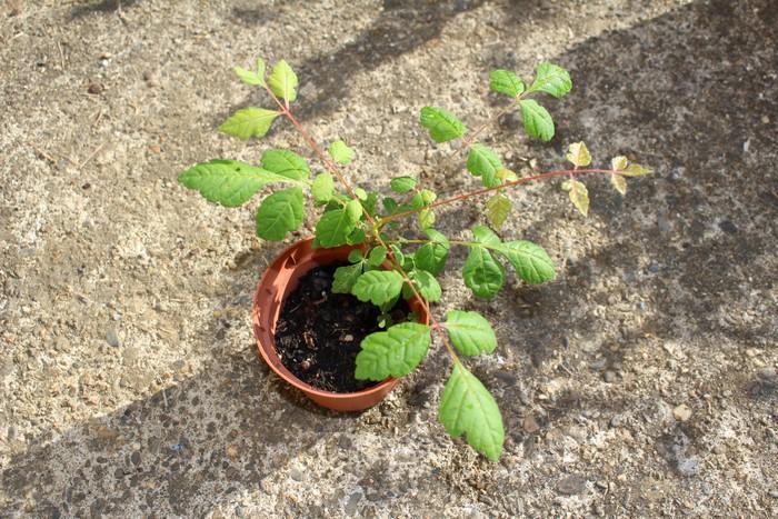 Arbre ou arbuste ??? // Koelreuteria paniculata 11072018