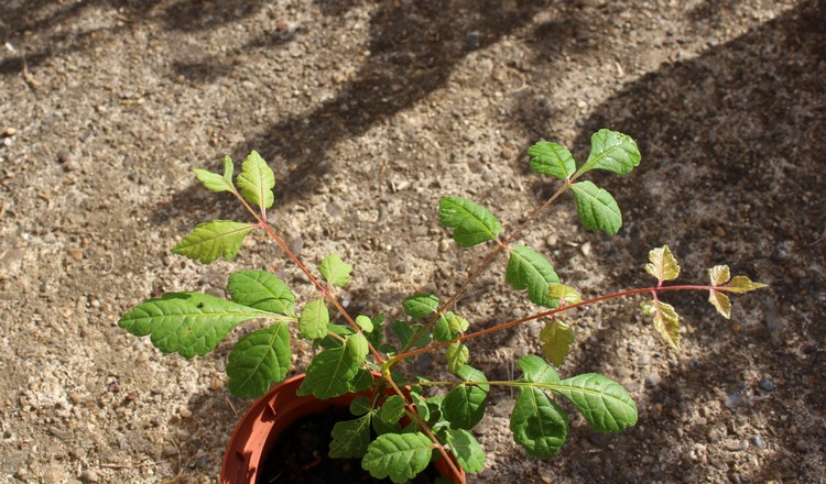Arbre ou arbuste ??? // Koelreuteria paniculata 11072019