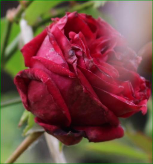 'Red Parfum' !!! - Page 2 12042010