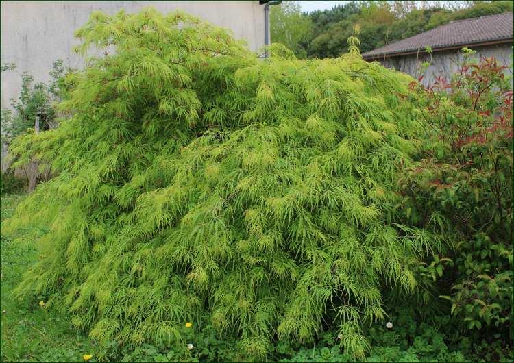 Acer palmatum 'Dissectum' !!! - Page 3 12042014