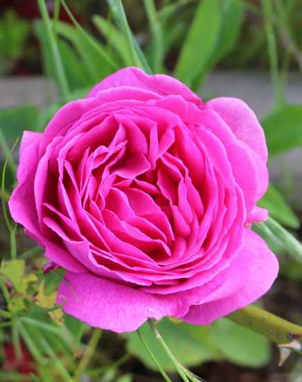 Rosa 'Mme Isaac Péreire' !!! 12052013