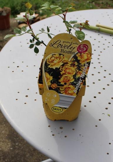 Rosa 'Amber Nectar'   13032011