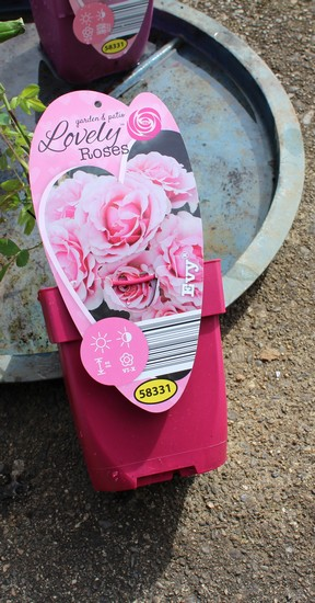 Rosa 'Evy'   13032013