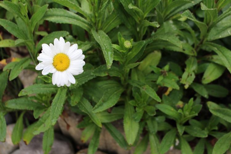 Leucanthemum maxima !!!  - Page 2 13062034