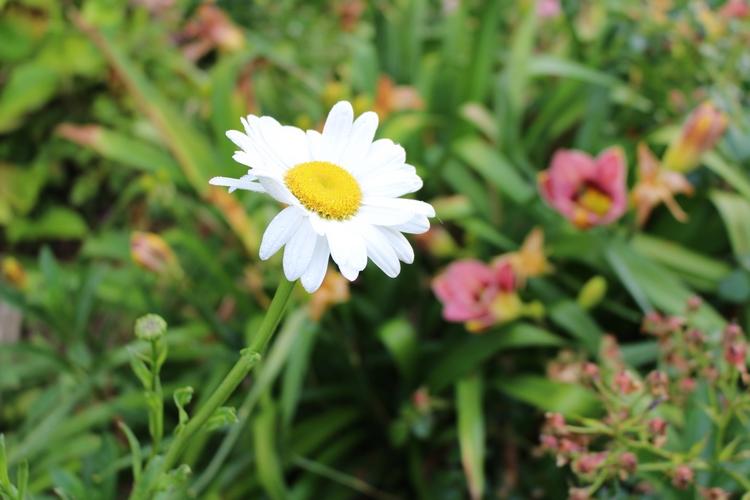 Leucanthemum maxima !!!  - Page 2 13062035