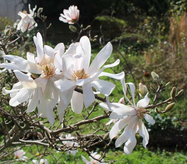 Magnolia stellata !!! 14022013