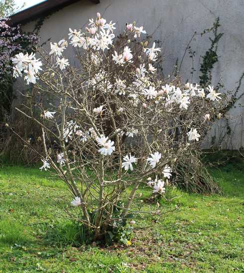 Magnolia stellata !!! 14022014