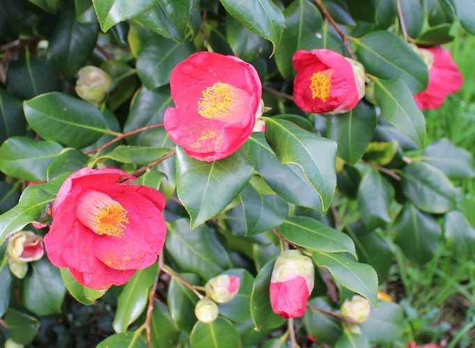 Camellia !!! 14022015