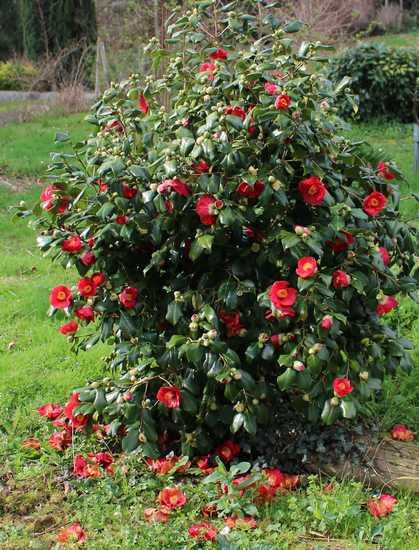 Camellia !!! 14022016
