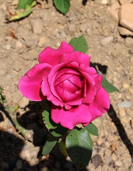 Rosa 'Charlotte Rampling' 14072012