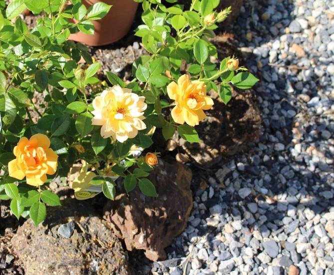 Rosa 'Amber Nectar'   14072025