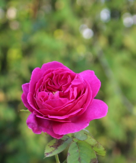 Rosa 'Mme Isaac Péreire' !!! - Page 2 14112016