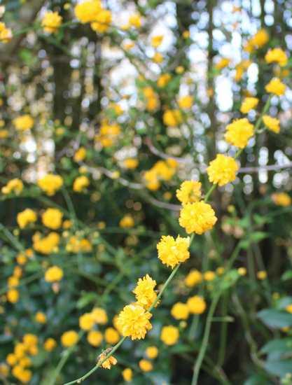 Kerria japonica !!! 15032014