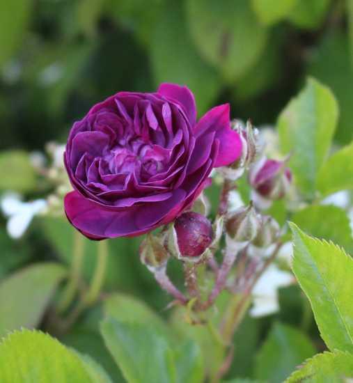 Rosa 'Blue Magenta'  - Page 5 15052013