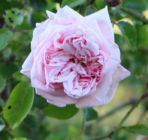 Rosa 'Probuzeni' !!! 15052014