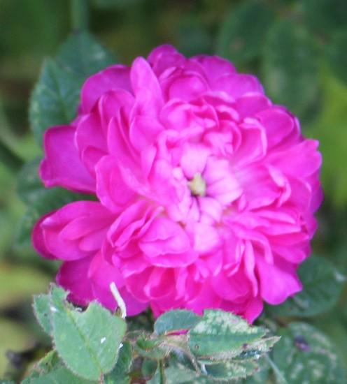 Rosa Pompon de Bourgogne !!! - Page 2 15052018