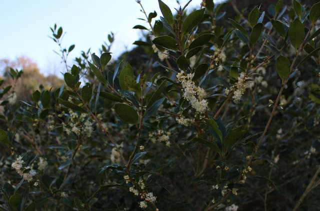 Osmanthus !!! - Page 2 16112010