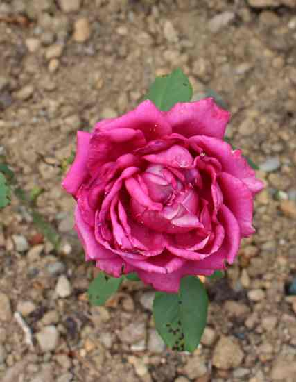 Rosa 'Charlotte Rampling' 18072018