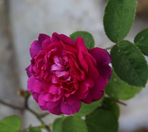Rosa 'Eugénie Guinoisseau' !!! 19052024