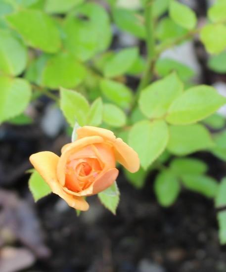 Rosa 'Amber Nectar'   19052025