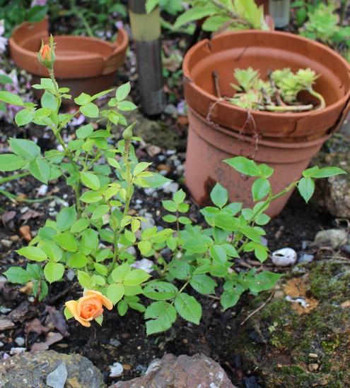 Rosa 'Amber Nectar'   19052026