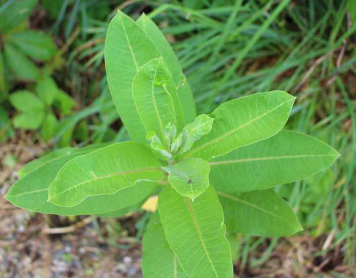 Asclepia cornutii 20062011