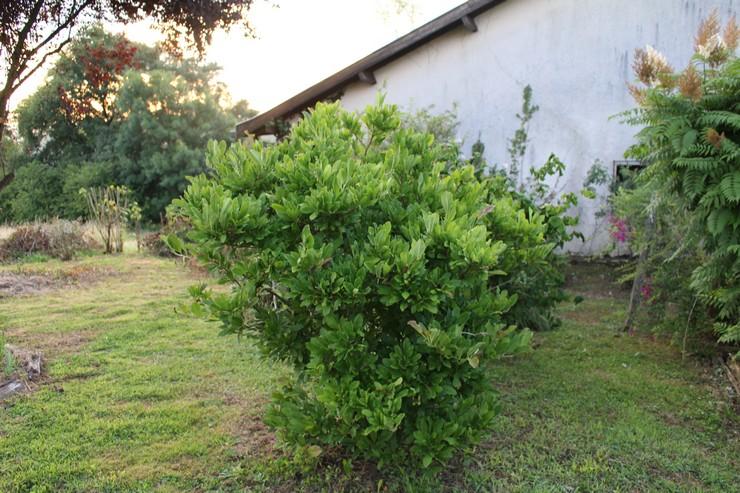 Magnolia stellata !!! 20062016