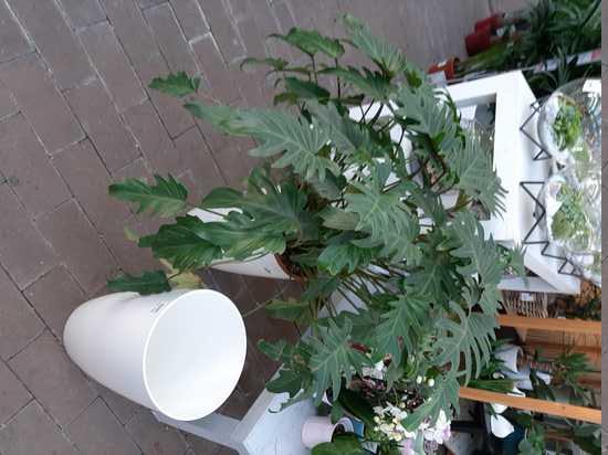 Philodendron xanadu 20200211